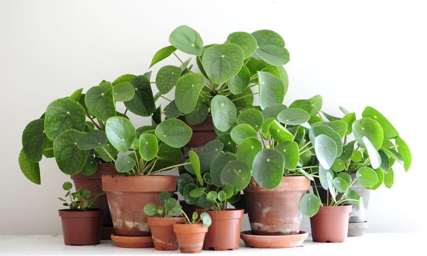 La planta china del dinero o también conocida como la planta del misionero