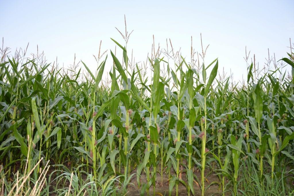 El maíz es el cereal más importante del mundo