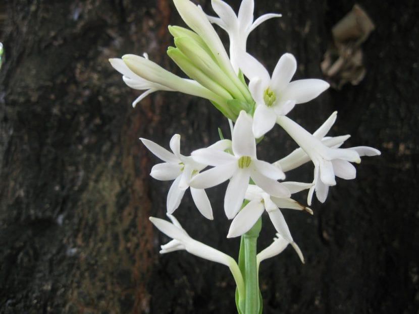 El nardo es una bulbosa de flores blancas