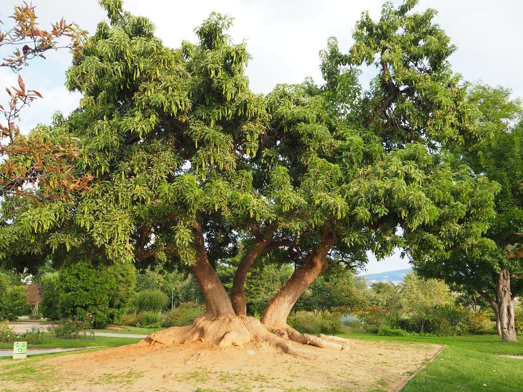 El ombú es un árbol muy grande