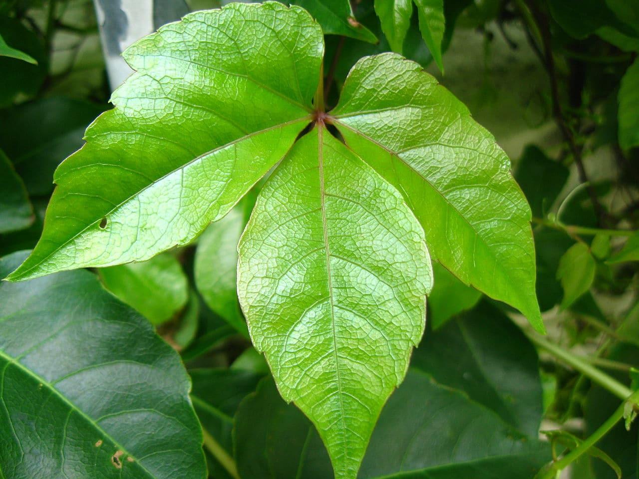 El Parthenocissus dalzielii tiene hojas trifoliadas