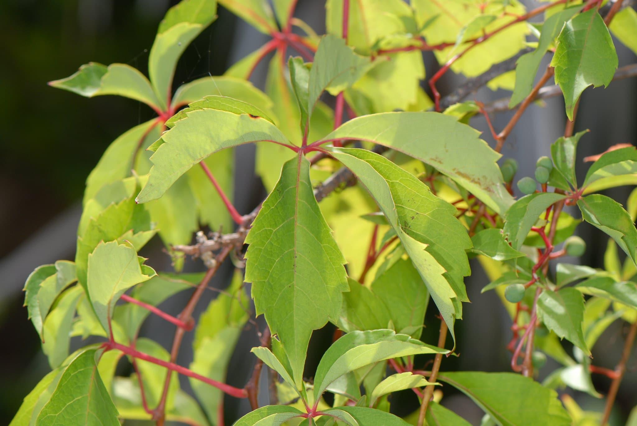 El parthenocissus quinquefolia es una enredadera