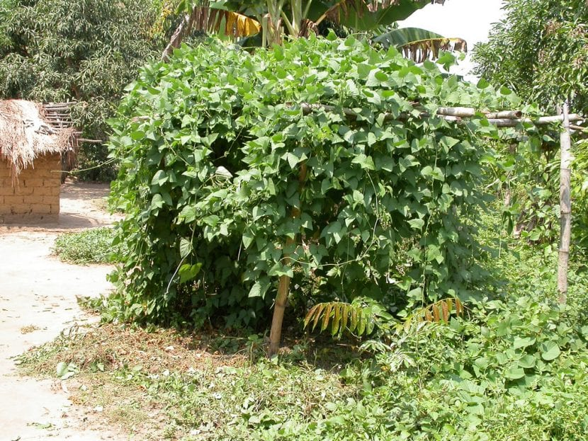 Vista de la planta de garrofón