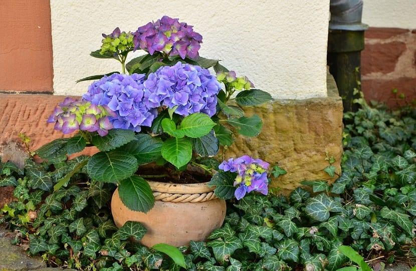 Las flores de hortensias son tan bonitas, que es natural querer cortarlas para mostrar los distintos colores en el interior de tu casa