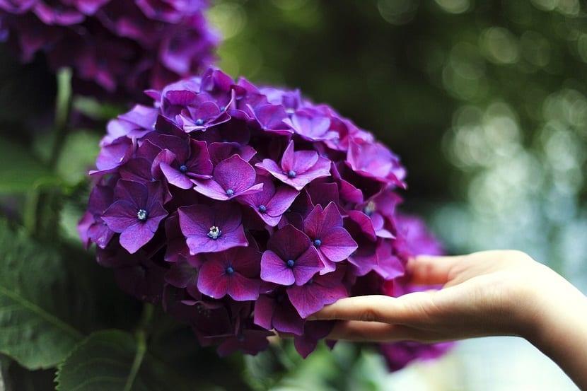 La importancia del PH del suelo para cambiar el color de las hortensias