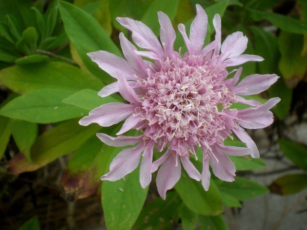 Rosalillo de cumbre en flor