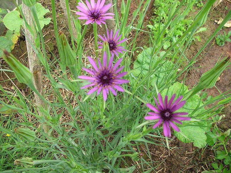 Salsifis en flor