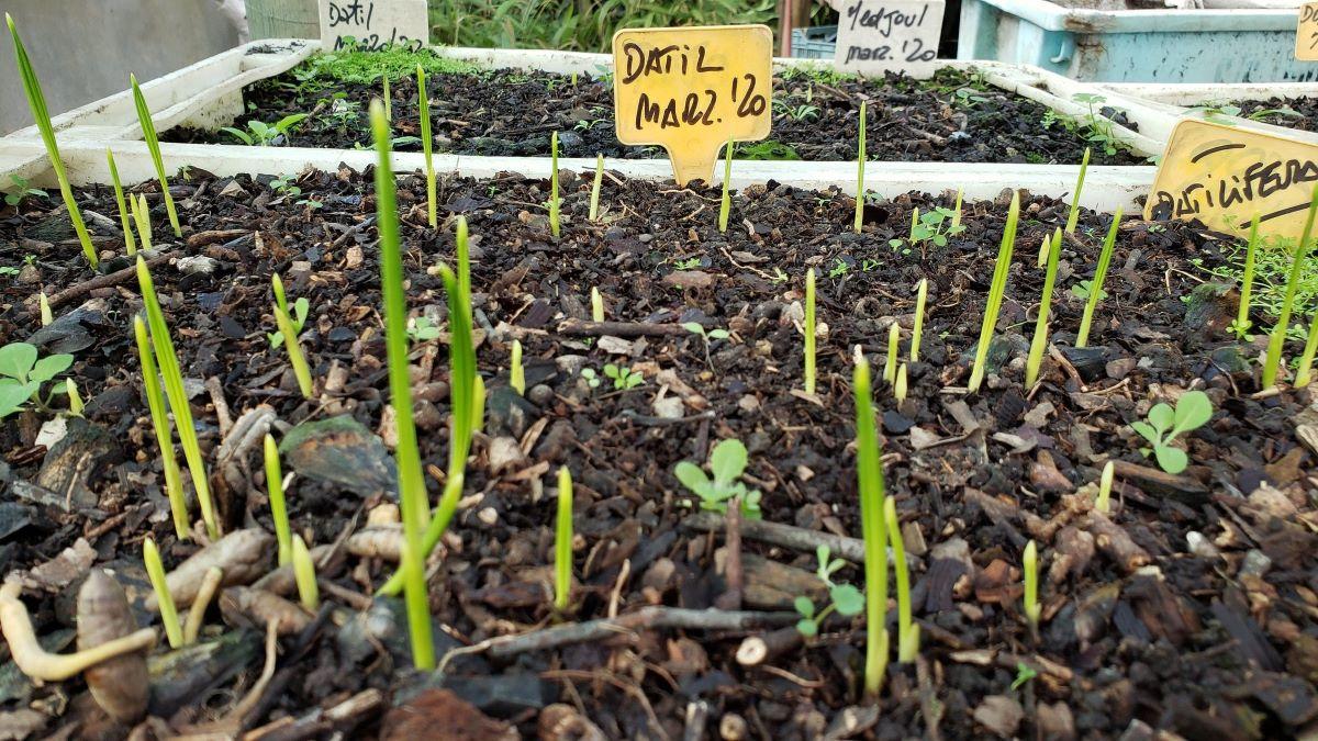 Los semilleros de datileras tienen que tener agujeros de drenaje