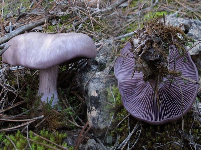 setas pie azul, también conocidas como Lepista nuda o pie violeta Clitocybe Nuda