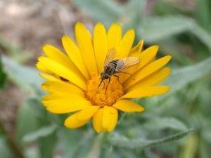 Sírfido en una flor