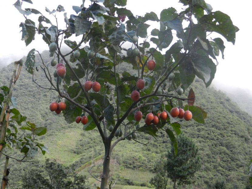 Vista de la planta Solanum betaceum
