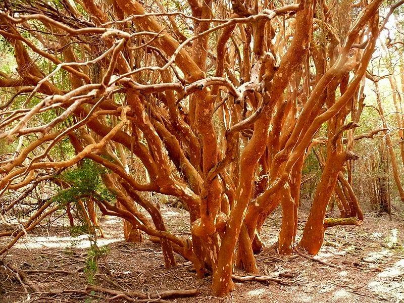 El tronco del arrayán es muy decorativo