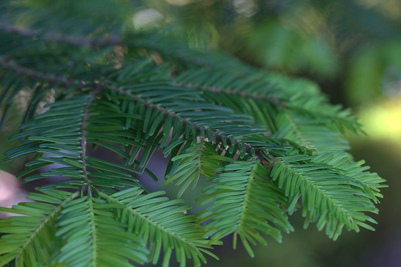 Planta de Abies grandis