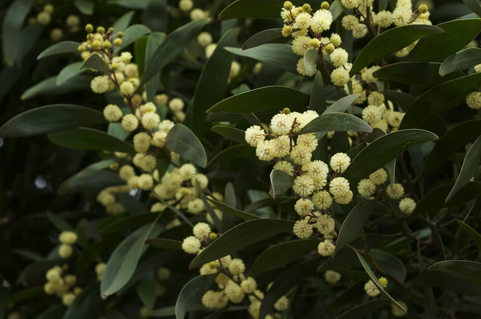 Flores de Acacia melanoxylon
