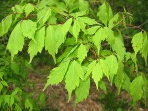 Hojas de Acer cissifolium