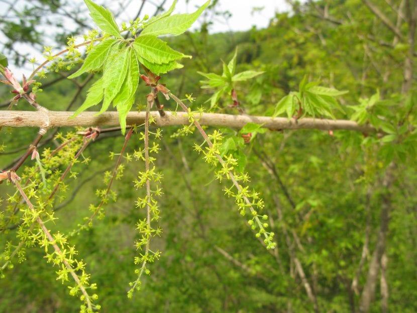 Flores del Acer cissifolium