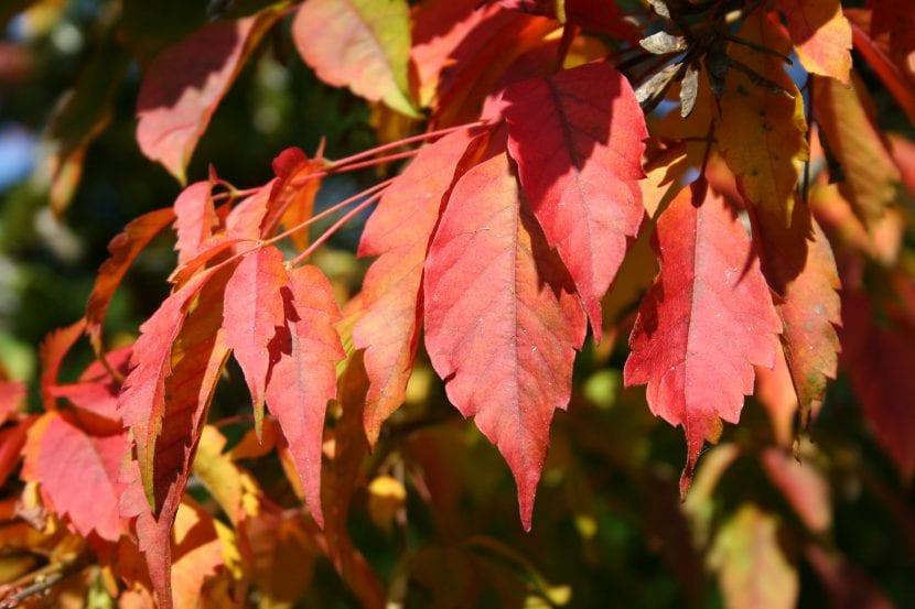 Hojas del Acer cissifolium en otoño