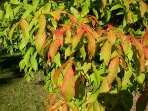 Hojas de Acer triflorum