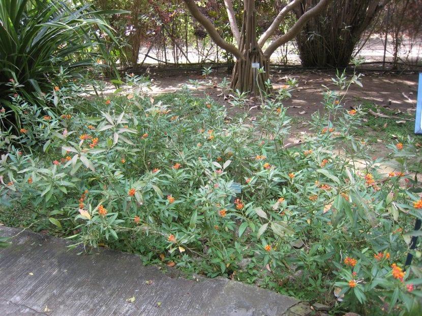 Planta de Asclepias curassavica