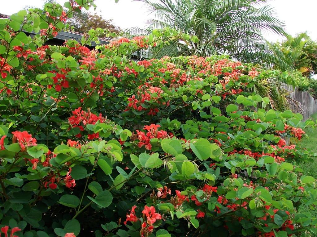 Arbusto de Bauhinia galpinii