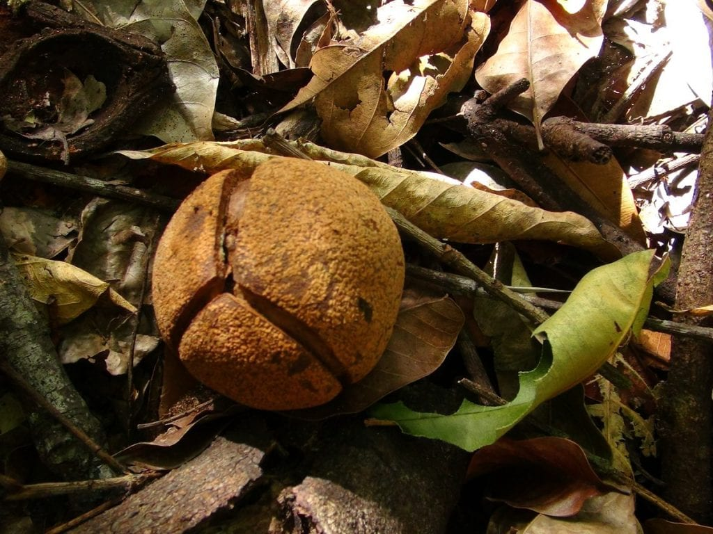 Fruto de la Billia