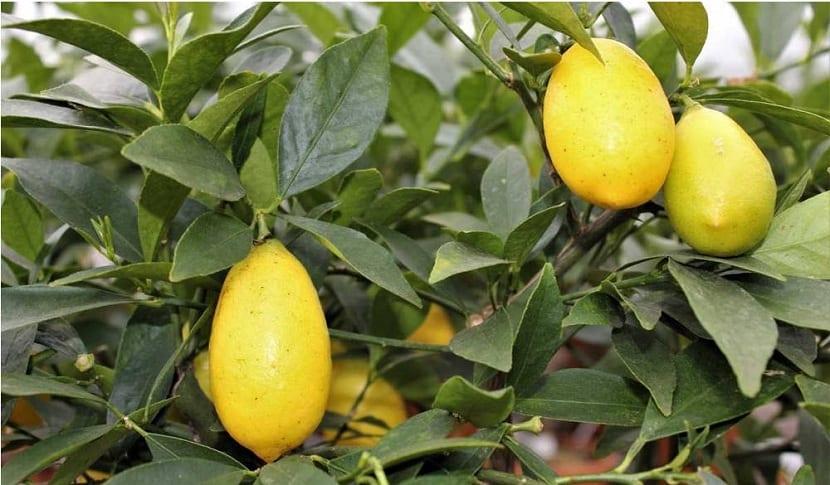 Cítrico limequat
