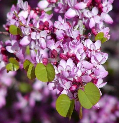Flores de Cercis occidentalis