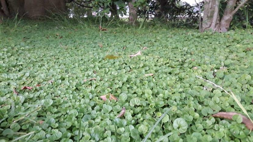 Cultivo de la hierba riñón