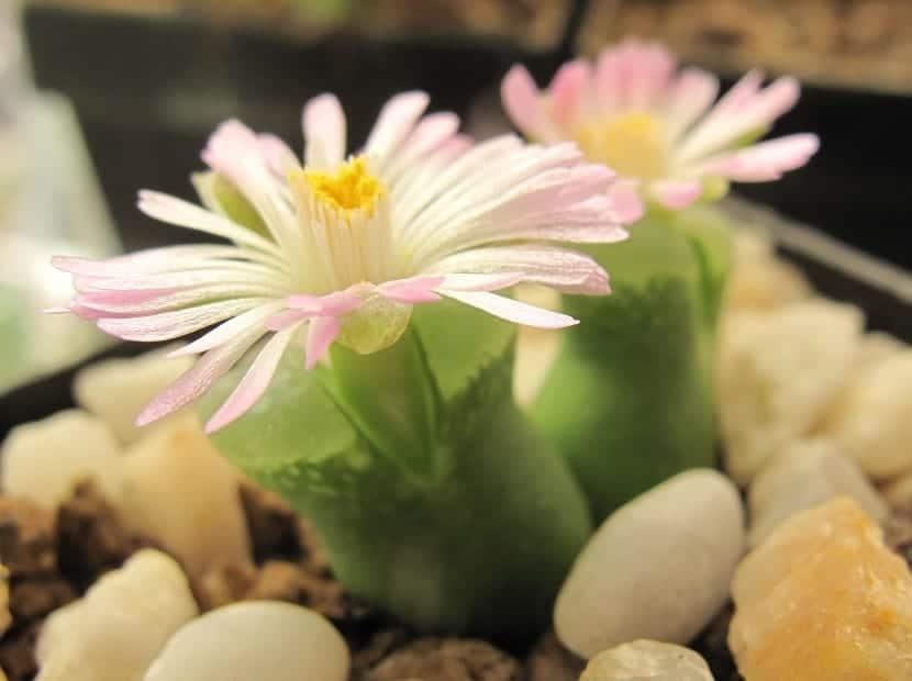 Cultivo del conophytum