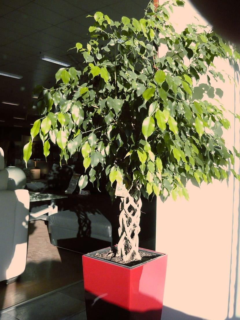 Cultivo en maceta del laurel de la Indias