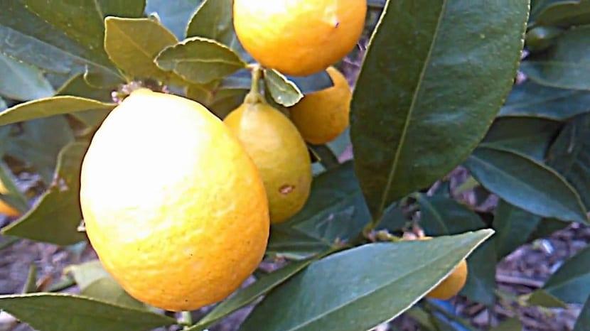 Detalle del limerquat