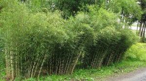 Esta es una especie de bambú que forma parte de los que no son rastreros