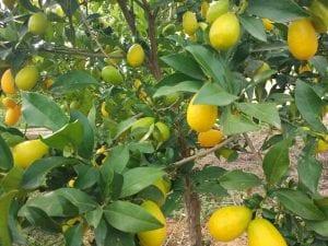 Frutos del limequat