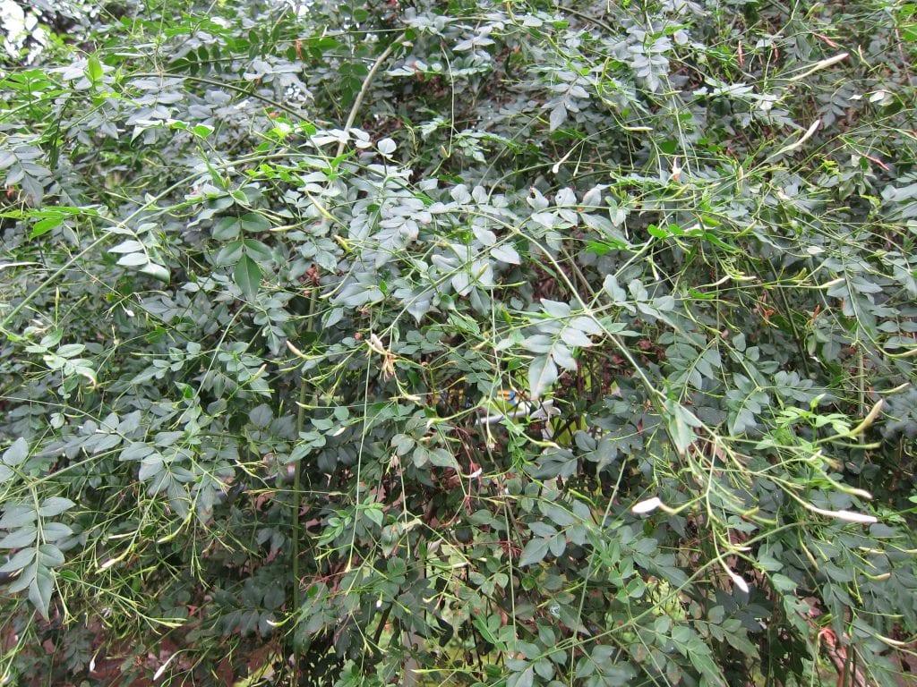 Jasminum grandiflorum es el nombre científico del jazmín real