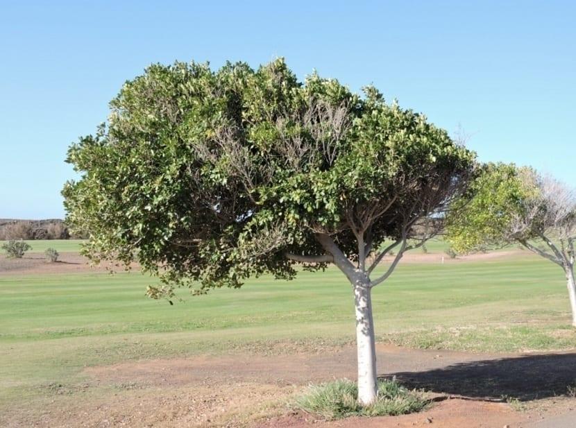Laurel de la India en un campo