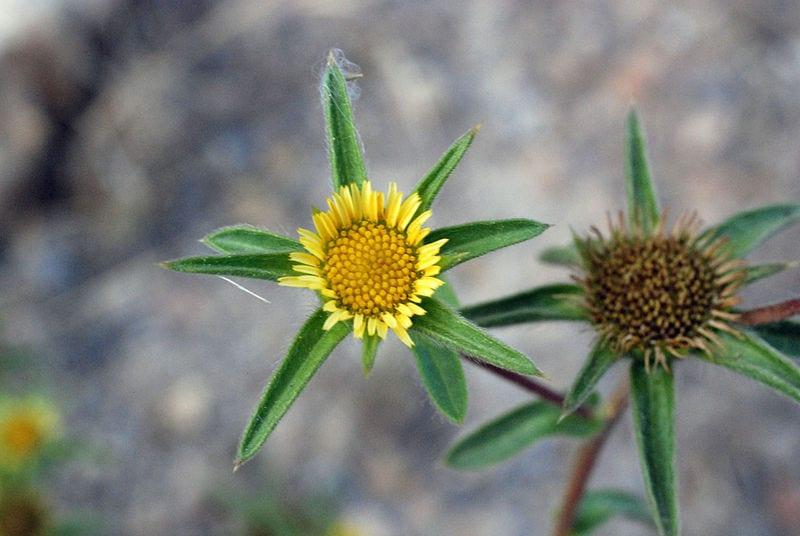 Flor de Pallenis spinosa