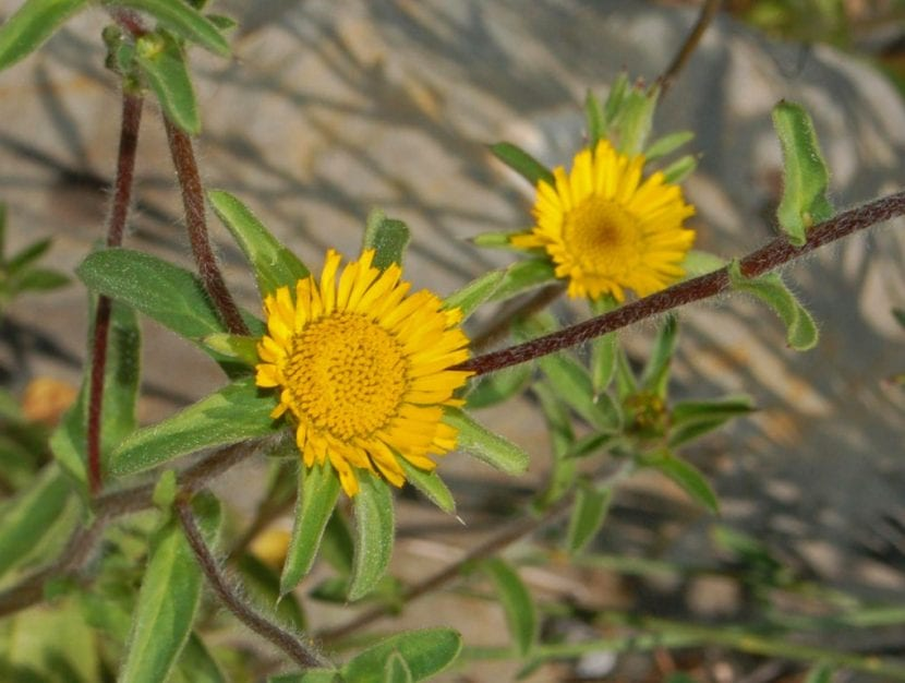 Planta de Pallenis spinosa