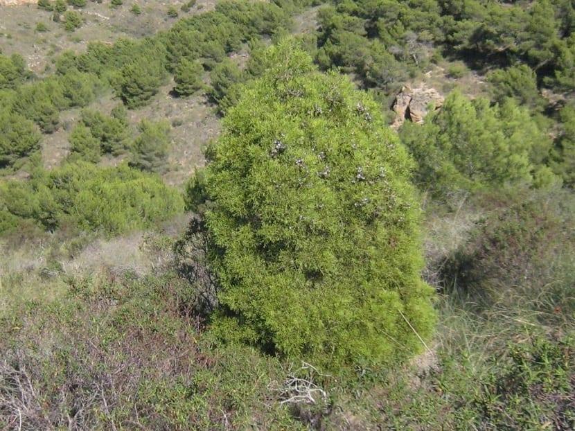 Peligro de extincion del Cipres de Cartagena