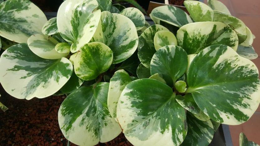 Planta de Peperomia obtusifolia 'Variegata'