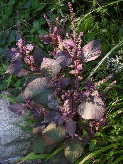 La Perilla frutescens es una herbácea que vive en semisombra