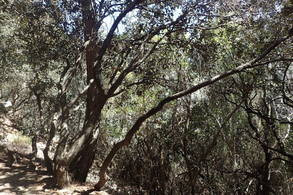 Tronco del Quercus alnifolia