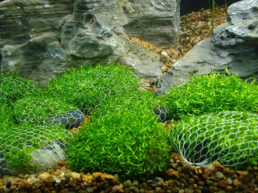 esta planta acuatica es una especie de musgo