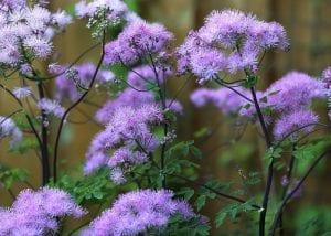 El thalictrum aquilegifolium, produce una excelente variedad de tallos de flores de bonitos colores