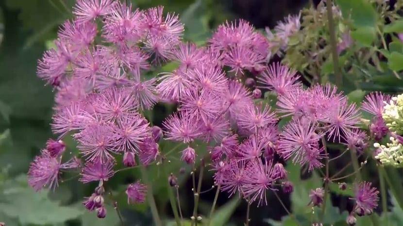 Esta es una planta duradera muy hermosa y considerada como una excelente planta fronteriza