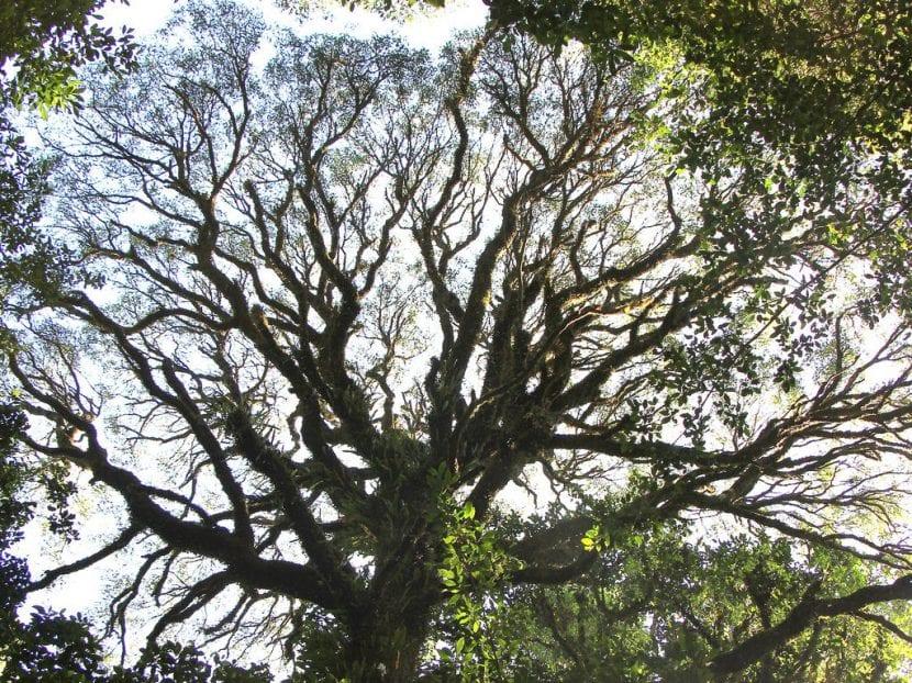 Vista del árbol de Acacia melanoxylon
