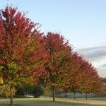 Árboles de Acer x freemanii