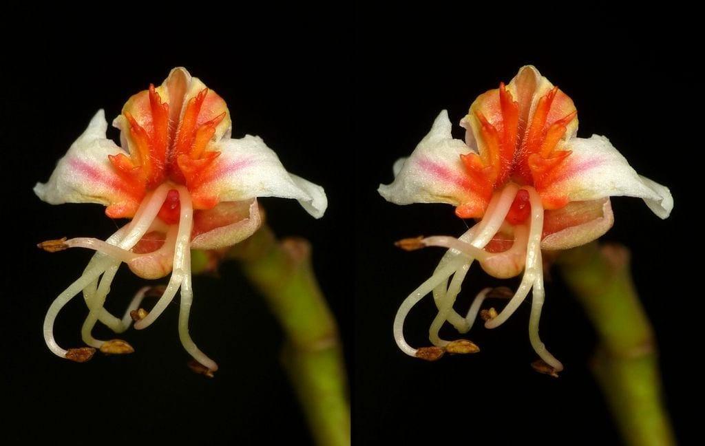 Billia rosea