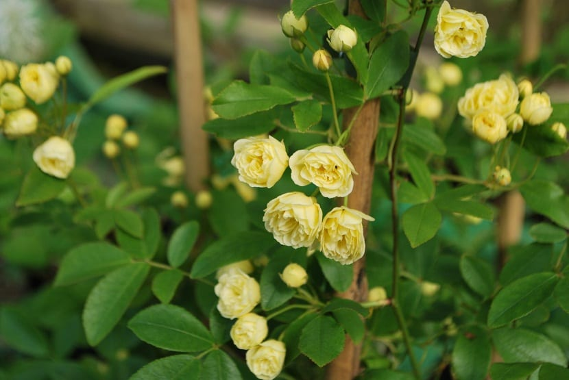 La Rosa banksia es muy utiliza por paisajistas