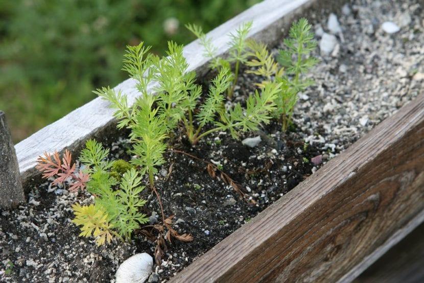 Plantitas de Carum carvi