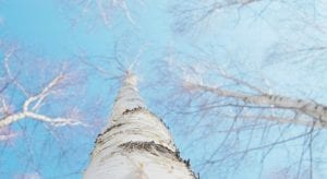 Este rrbol ornamental de corteza blanca y brillante es muy resistente al frio